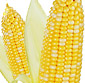 Picture of Fresh Bi-Color Sweet Corn